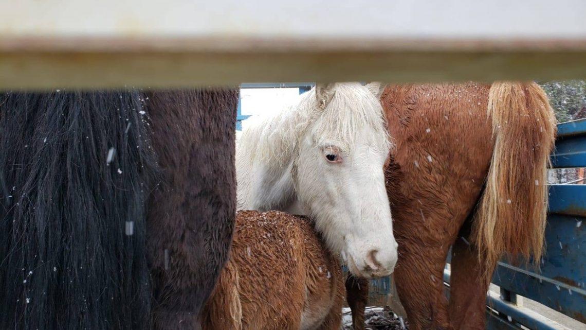 Encuentran 4 Caballos Encerrados En Un Carro A La Intemperie En Ushuaia