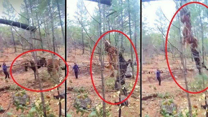 NO TIENEN PERDON DE DIOS: En Tolhuin Dos Caballos Fueron Arrojados Por El Aire Tras Talar Un Árbol En El Que Estaban Atados