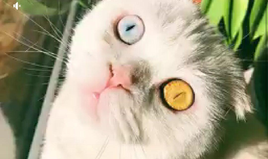 Un ojo amarillo y otro azul: la sorprendente gata que causa sensación en las redes sociales