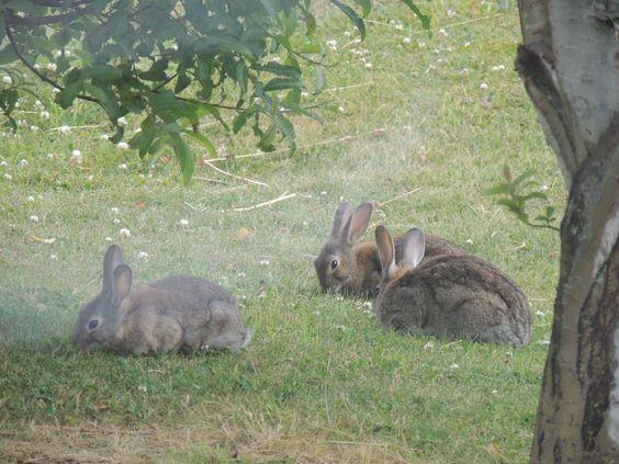 TERRIBLE POLÉMICA: Proponen Envenenar De Forma Masiva A Los Conejos En Ushuaia