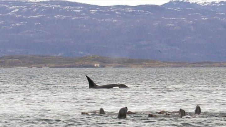 Aparecieron Nuevas Orcas En El Canal Beagle Y Causaron Asombro