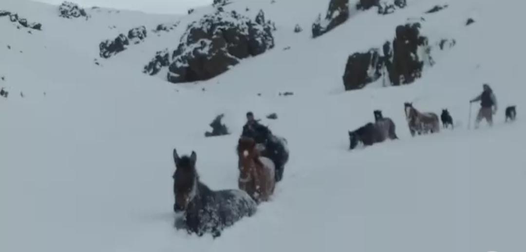 Increíble rescate de caballos en medio de la nieve
