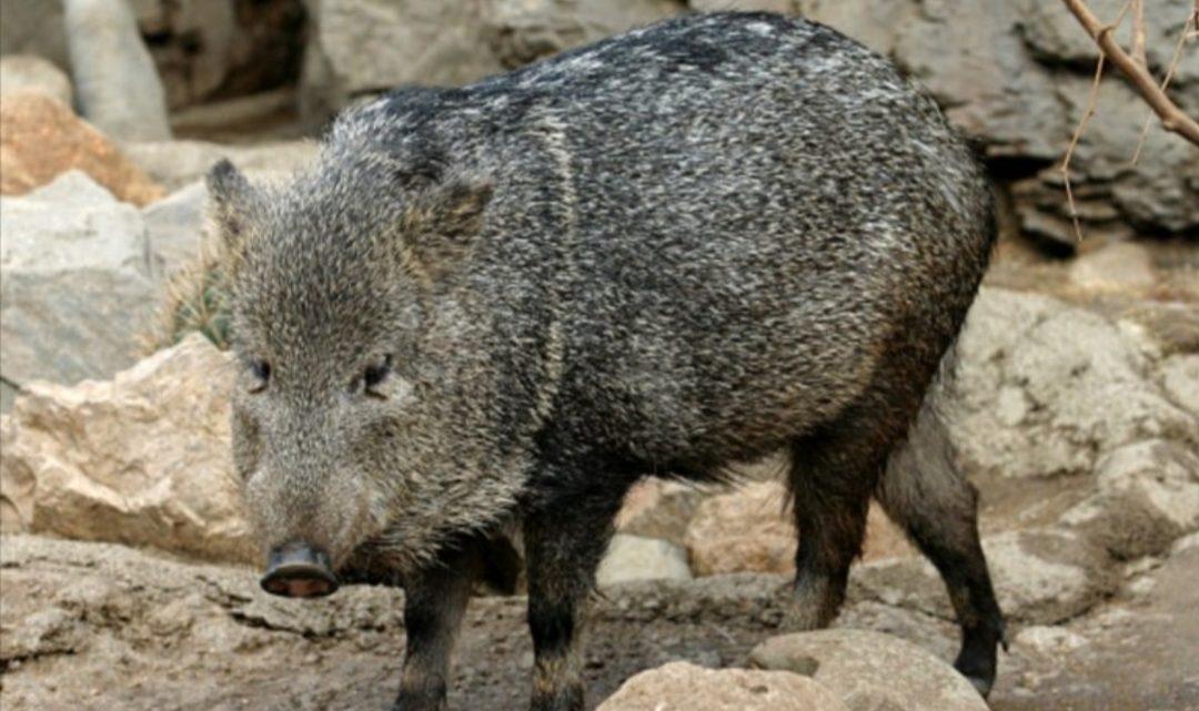 Trasladaron a los Esteros del Iberá a cuatro ejemplares de una especie extinta en Corrientes hace 50 años