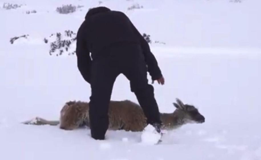 Ola polar en Santa Cruz: muchos guanacos, choiques, y demás animales salvajes se están muriendo de frío