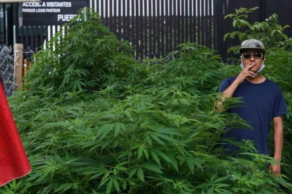 Un verdadero jardín de marihuana frente al Senado de México