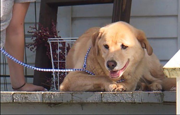 Un perro escapó de su familia y caminó 91 kilómetros para regresar a su antigua casa