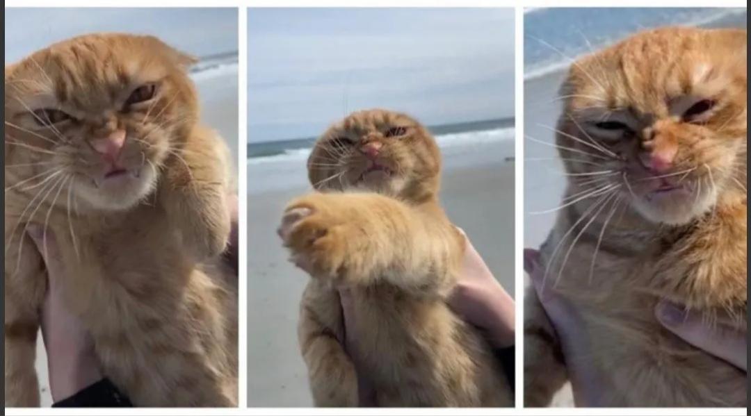 Furor por la cara que puso un gato al visitar la playa por primera vez