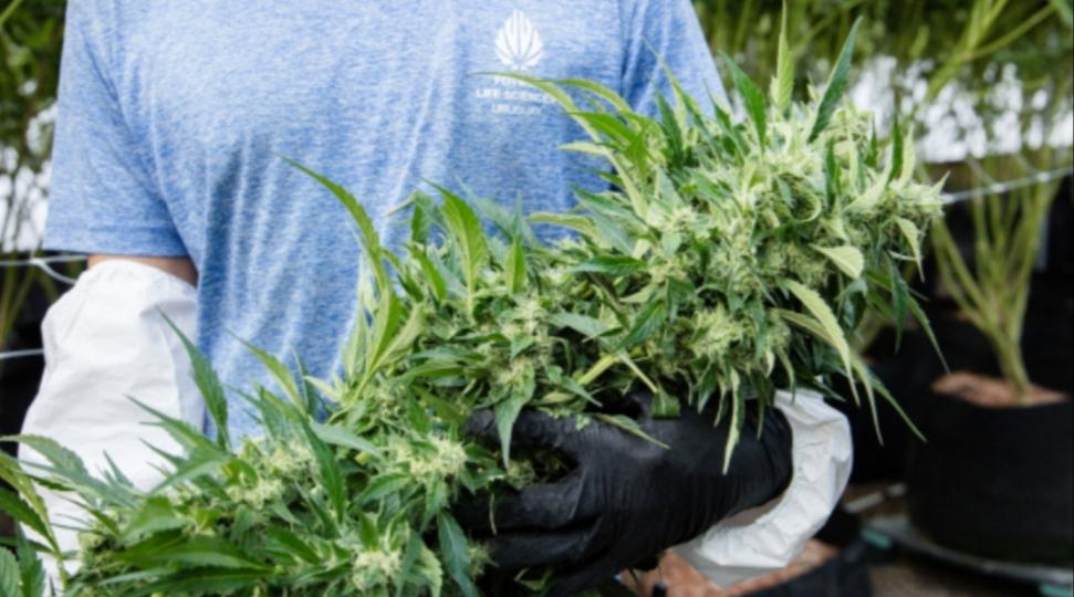 """Aprobaron el uso de cannabis medicinal en Ushuaia: """"Hay 1200 familias fuera de la ley"""""""