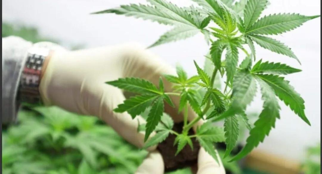 La Iglesia, preocupada por legalización del cannabis: «Las sustancias adictivas ahora son más accesibles»