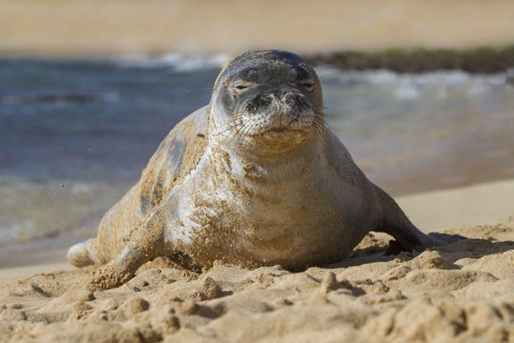 Descubren una especie de foca monje gigante que estaba extinta desde hace 3 millones de años
