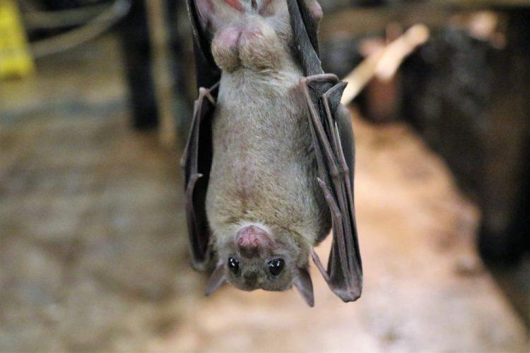 Encontraron excremento de murciélago en Japón que coincide en un 81% con el coronavirus