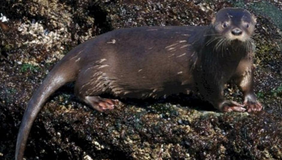 Declaran al huillín patrimonio natural de Tierra del Fuego