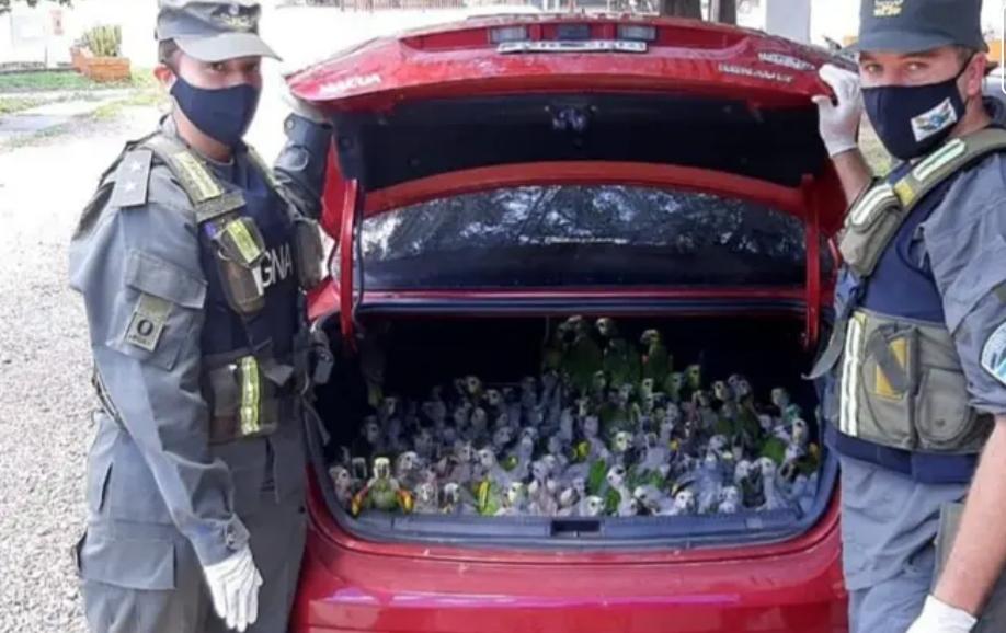 Santiago del Estero: llevaban de contrabando 216 loros en el baúl del auto