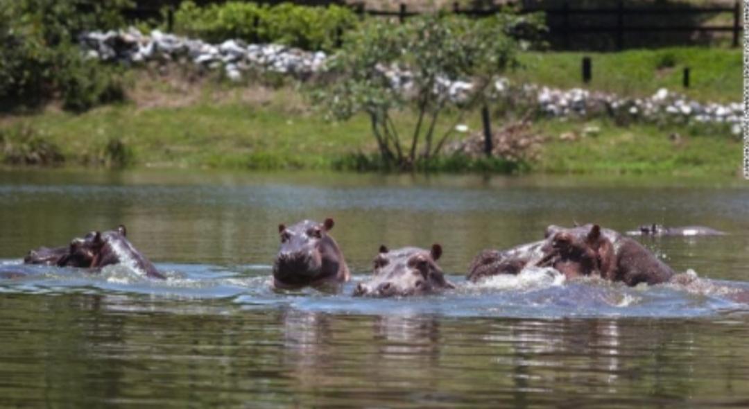 Los 'hipopótamos de la cocaína', que trajo Pablo Escobar a Colombia, deben ser sacrificados, dicen los científicos, pero no todos están de acuerdo