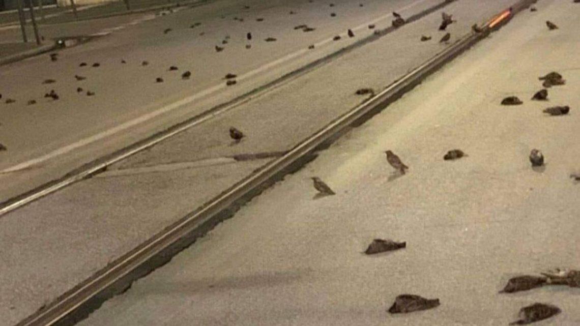 Aparecieron cientos de pájaros muertos en la calle por culpa de los fuegos artificiales