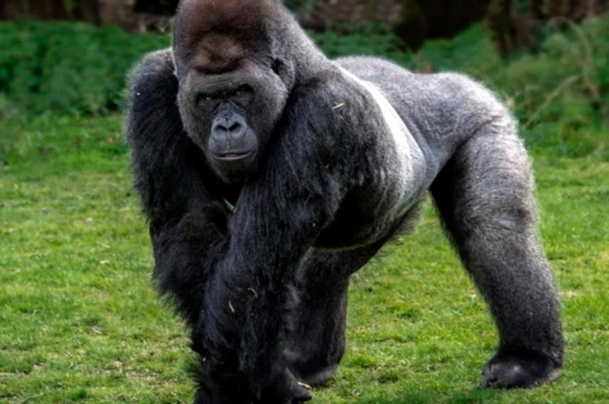 Dos gorilas del zoológico de San Diego tienen coronavirus y hay otro con síntomas