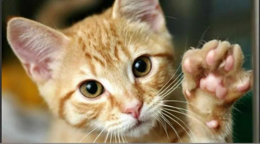Venden un gato en 130.000 dólares porque su dueña asegura que cumple «deseos»
