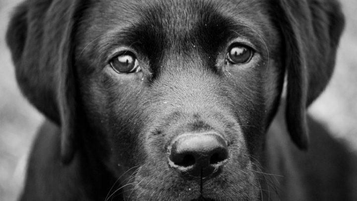 Esa mirada: los perros intentan establecer contacto visual con los humanos para formar un vínculo más rápido